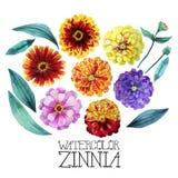 Watercolor zinnia set Stock Photos