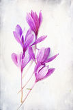 Watercolored Colchicum (autumn Crocus) Royalty Free Stock Photo
