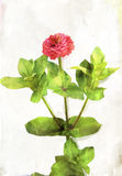 Watercolored coral red zinnia Royalty Free Stock Images