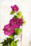 Watercolored crimson clematis. Illustration of watercolor crimson clematis on a vintage background Royalty Free Stock Photography