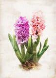 watercolored hyacint Arkivbilder