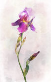 Watercolored iris flower Stock Image
