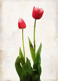 Watercolored red tulip Stock Images