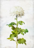 Watercolored white chrysanthemum Stock Photo