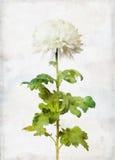Watercolored white chrysanthemum Stock Photo