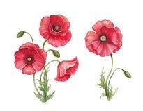 Watercolornpoppybloemen Stock Afbeelding