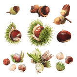 Watercolour clip art illustrations of True Nuts. Watercolour highly detailed clip art illustrations of nuts: acorn, chestnut and hazelnut Royalty Free Stock Photos