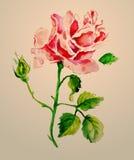 Watercolour de Rosa Imagem de Stock