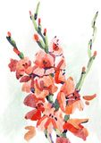 Watercolour flowers gladiolus Royalty Free Stock Photography