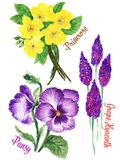 Watercolour Gouache hand drawn spring and summer primula Pansy and Grape Hyacinth Flower illustration royalty free illustration