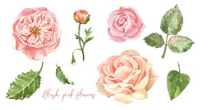 Free Watercolour Hand Painted Floral Set. Blush Pink Ranunculus, English Roses And Green Leaves, Isolated Royalty Free Stock Photo - 149626775
