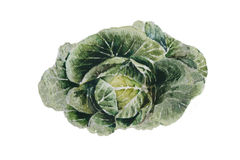 A watercolour illustration of a green cabbage Royalty Free Stock Photo