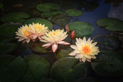 Watercolour painting of lotus blossom blooming on pond. Watercolour painting of beautiful waterlily or lotus flower in pond royalty free stock photography