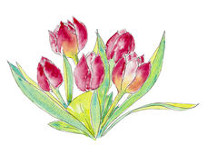 Watercolour painting of red and pink tulips. Watercolour painting of a bouquet of red and pink tulips Stock Image