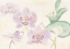 Watercolour Pink Orchids. A watercolour botanical floral illustration of a pink Orchid stock illustration
