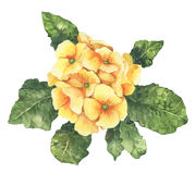 Watercolour spring and summer yellow primula flower Stock Images