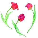 Watercoolor рисуя красные тюльпаны Стоковые Изображения
