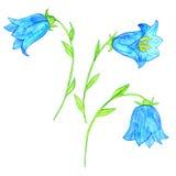 Watercoolor drawing blue bellflowers Stock Photo