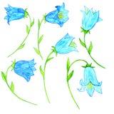 Watercoolor drawing blue bellflowers Royalty Free Stock Images