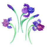 Watercoolor drawing blue irises Stock Images