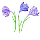Watercoolor drawing crocuses Royalty Free Stock Images