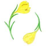 Watercoolor drawing yellow crocuses Royalty Free Stock Image