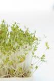 watercress Fotografia Royalty Free