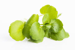 watercress Stock Foto