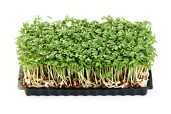 Watercress Stock Image