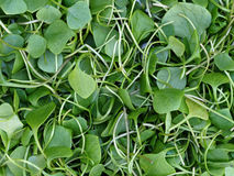 Watercress background Stock Image