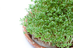 Watercress. Cress valuable source of vitamins Royalty Free Stock Image