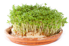 Watercress. Cress valuable source of vitamins Stock Photography