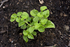 Watercress cropping on the black substrate Royalty Free Stock Photos