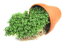 Watercress and flower pot Stock Photos