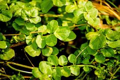 Watercress, fresh eatable herb and medicinal plant in spring. In a German forest Stock Photography