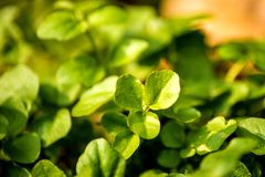 Watercress, fresh eatable herb and medicinal plant in spring. In Germany Stock Photos