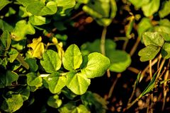 Watercress, fresh eatable herb and medicinal plant in spring. In Germany Royalty Free Stock Photo