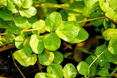 Watercress, fresh eatable herb and medicinal plant in spring. In a German forest Stock Images