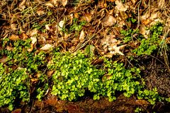 Watercress, fresh eatable herb and medicinal plant in spring. In Germany Stock Images