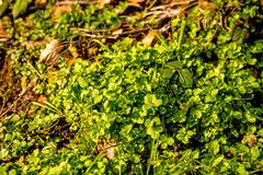 Watercress, fresh eatable herb and medicinal plant in spring. In Germany Royalty Free Stock Photography