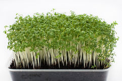 Watercress. Fresh watercress in plastic tray on white background Royalty Free Stock Photography