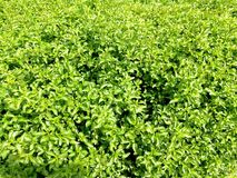 Watercress. Green watercress that& x27;s grown up in thaliana Royalty Free Stock Photos