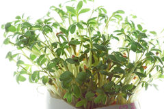 Watercress growing in a eggshell Royalty Free Stock Image