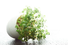 Watercress growing in a eggshell Royalty Free Stock Photo