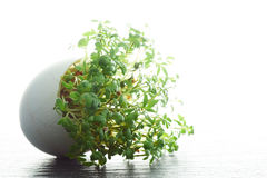 Watercress growing in a eggshell Royalty Free Stock Images