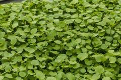 Watercress Growing Stock Image