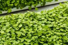 Watercress Growing Stock Images