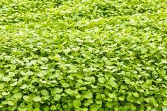 Watercress Growing Royalty Free Stock Images