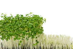 Watercress harwesting Stock Photo