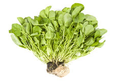 Watercress Isolated on White Stock Photography